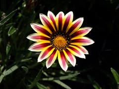 Gazania (tomek034 (Thank you for the 1 300 000 visits)) Tags: wrocław ogródbotaniczny ogród kwiat gazania