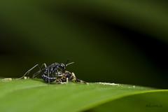 Spider wasp with its meal (AkDExplorer) Tags: naturalhistory india madikeri coorg monsoon spider wasp predation nikon tamron greatnature natgeowild ngc insect