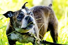 Funny Face Dog :  (Dakiny) Tags: 2016 autmn october japan kanagawa yokohama aoba ichigao obacho outdoor city street creature animal pet mammal dog bulldog terrier hybrid face funny funnyface smaile bokeh nikon d7000 sigma apo 70200mm f28 ex hsm apo70200mmf28dexhsm sigmaapo70200mmf28dexhsm nikonclubit