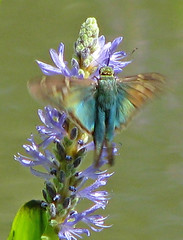a flash of Long-tailed skipper (Vicki's Nature) Tags: longtailedskipper colorful blue green butterfly blur wings inflight purple pickerelweed blossom flowers pond gibbsgardens georgia vickisnature canon s5 6925 returnfragile