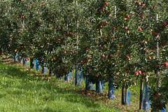 ckuchem-2192 (christine_kuchem) Tags: apfelplantage biolandwirtschaft erntezeit landbau landwirtschaft naturhof obstplantage biologisch obstbã¤ume reif ãpfel