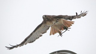 red-tailed hawk (adult female)