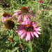 Bumblebees fight over Echinacea flowers