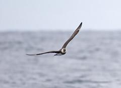 _Q8A9053WestportPelagicPomarineJaegerSmall (birdbug3) Tags: stercorarius pomarinus