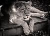 Lazy Lady Lion (London Zoo September 2016) (Lazlo Woodbine) Tags: zoo london londonzoo lion lioness blackwhite mono monochrome animal wildlife nature pentax k7 sigma 70300mm september 2016 natural cats bigcat