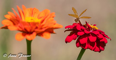 A happy little dragonfly (Anne Marie Fraser) Tags: plant flower flowers outdoor garden dragonfly happy nature summer summertime zinnia zinnias