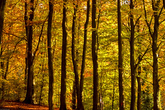 WHEN YOU CAN'T SEE THE WOOD FOR THE TREES....EXPLORED (mark_rutley) Tags: autumn park queenelizabethcountrypark tree trees explored explore
