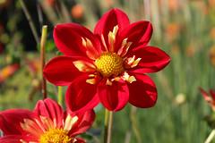 Britzer_Garten_Berlin_Dahlien-10 (Mariane Sgarbi) Tags: berlin britzergarten dahlien dalias flowers flores park garten primavera fruhling