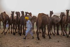 L1002818.jpg (Bharat Valia) Tags: pushkarfair bharatvalia desert bharatvaliagmailcom pushkarmela pushkarimages festivalsofindia pushkar camel pushkarcamelfair sheperd