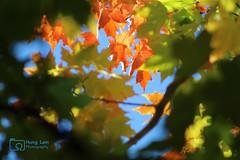 FallMapleLeaves (HungLam1980) Tags: kingstonontario canada mapleleaf fall colourful transition nature