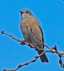 CAD0005163a (jerryoldenettel) Tags: 2016 bluebird calleloma nm passeriformes santafe santafeco sialia sialiamexicana turdidae westernbluebird bird passerine