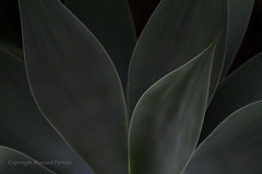 The darkness (Howard Ferrier) Tags: oceania bulcockbeach agave agaveattenuata sunshinecoast plants australia abstract leaves green caloundra seq queensland flora foxtail lionstail swansneck vegetation