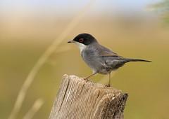 Fauvette mlanocphale (m-idre31 - 5 millions de vues merci) Tags: bird gruissan aude fauvettemlanocphale