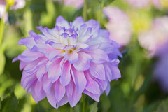 Softened But Not Weakened (Synapped) Tags: dahlia pink purple lavender swan island farm oregon