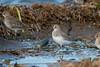 Dunlin (R Hardy) Tags: esquimaltlagoon colwood vancouverisland dunlin