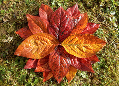 A welcomed change from sweeping leaves :-) (Claude@Munich) Tags: home garden autumn fall leaves foliage colorful red orange yellow collection ephemeral ephemerality claudemunich zuhause garten herbst herbstfrbung laub bltter bunt rot gelb mandala stern sternfrmig kurzlebig