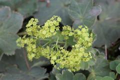 Lady's Mantle Flowers (non-native) (corey.raimond) Tags: ladysmantle flower garden alchemillasp kirkland kingcountywashington washington washingtonstate alchemilla