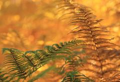Sous l'abri de ton aile (CcileAF) Tags: furn wild nature autumn orange green leaves woodland macro bokeh canon tamron