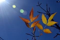 Autumn's Offering (Cooling Down Again Yay!!!) Tags: flickrfriday autumnleaves orange sunshine tree arizonaash sunburst sky orbs blue inthebackyard