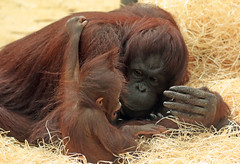 orangutan ouwehands JN6A6865 (j.a.kok) Tags: orangutan orangoetan orang monkey motherandchild moederenkind ape aap primaat primate ouwehands ouwehandsdierenpark ouwehandszoo mammal zoogdier