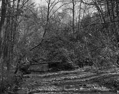 A Stream Runs Through It (.:Axle:.) Tags: oakville ontario canada trail park hike woods forest lunchbreak fall greenspace oakvillepark ravine creek stream graflex pacemakercrowngraphic crowngraphic presscamera largeformat viewcamera 4x5 sheets schneiderkreuznachsymmars156210 ilford ilfordhp5 hp5 asa200 pyro pyrocathd 11100 photographersformulary pentaxspotmeterv adobephotoshopcc epsonv700 film filmphotography bw blackwhite believeinfilm filmisnotdead filmisalive