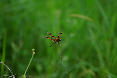 DSC09507.jpg (joe.spandrusyszyn) Tags: celithemis orlando odonata nature insect westbeachpark halloweenpennant unitedstatesofamerica celithemiseponina dragonfly byjoespandrusyszyn libellulidae florida animal arthropod pennant anisoptera