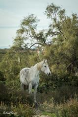 Quelque part en Camargue ... (Patrice Fauré) Tags: lessaintesmariesdelamer camargue provence bouchesdurhône cheval nature minolta75300 sonya57 sony