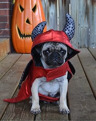 Boo The Devil Pug (DaPuglet) Tags: pug pugs dog dogs puppy puppies pet pets animal animals devil costume halloween funny cute