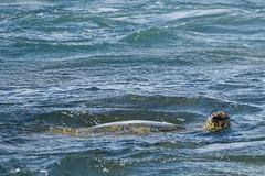 green sea turtle (msr) Tags: cheloniamydas greenseaturtle paia hawaii unitedstates us