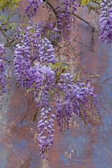 8933Spring16 (Robin Constable Hanson) Tags: blue flowers pink purple spring vertical wisteria