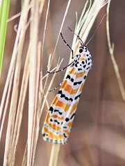 Bella or Rattlebox Tiger Moth -Utetheisa bella 20161204 (Kenneth Cole Schneider) Tags: florida miramar westbrowardwca