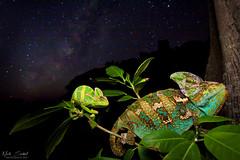 Night of the Chameleons (Nick Scobel) Tags: veiled chameleon chamaeleo calyptratus florida south milky way night sky photography astrophotography wide angle habitat