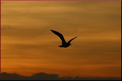 00650  Möwe  im Sonnenuntergang (modekopp) Tags: eastsee ostsee fischland dars zingst darss