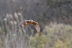 Northern Harrier 11_21 1 (krisinct- Thanks for 12 Million views!) Tags: nikon d500 500 f4 vr
