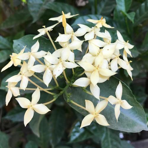 #nofilter #iphone7plus #flowers #flower #yellows #yellow #lush #love #natural #nature #wildlifephotography #wild #insta #instagram #instapic #picoftheday #instagood #instago #instamood #mumbai #macrophotography #macros #macro #macro_x #rain #rains #rainy