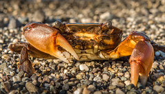 Crab encounter (FotoGrazio) Tags: freetodownload sand crustythecrab nature photographersinsandiego fotograzio claws photographicart professionalphotography animal capture professionalphotographer photographer waynegrazio photography oceanlife pebbles animals freeimage crustacean waynesgrazio closeencounter freepicture photoshoot downloadforfree worldclassphotographer sandcrab macro californiaphotographer flickr texture sandiegophotographer digitalphotography composition worldphotographer closeup beautiful artofphotography explore eyes 500px internationalphotographers photographersincalifornia crab detail