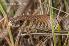 Leaden Delma (Delma plebeia) (Brendan Schembri) Tags: delma plebeia leaden pygopod legless lizard reptile australia brendanschembri
