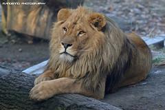 African lion - Olmense Zoo (Mandenno photography) Tags: dierenpark dierentuin dieren animal animals african lion lions leeuw leeuwen olmense olmensezoo olmen belgie belgium bigcat big cat balen
