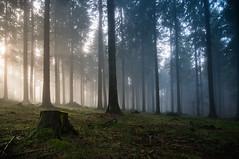 The beauty of november. (roger_popa) Tags: fog foggyday sunbeams paduredebrad sigma1224 firforest sun fir brazi brad copaci ceata nor clouds cloud rogerpopa mist outdoor cheia prahova romania