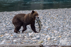 Grizzly Bear with Salmon (fascinationwildlife) Tags: animal mammal grizzly bear wild wildlife nature natur river young juvenile brown bc canada kanada bute inlet salmon fish stream lachs br