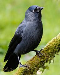 Jackdaw (ABPhotosUK) Tags: animals autumn birds canon corvidae corvusmonedula crows dartmoor devon ef100400mmisii eos7dmarkii garden jackdaw nocrop seasons wildlife