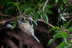 Bellbird/Korimako (Anthornis melanura) and Tree Fuchsia/Kotukutuku (Fuchsia excorticata) (Nga Manu Images NZ) Tags: anthornismelanura fscientificnames feeding fuchsiaexcorticata plantsandfungi treefuchsiakotukutuku trees