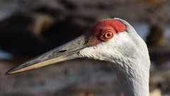 Sandhill Crane (Crunch53) Tags: sandhill crane michigan close up cranes bird birds