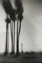 Juvenile (micalngelo) Tags: analog agfa agfaclack acros fujiacros acros100film trees palmtrees