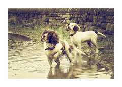 Are you ready????? (Missy Jussy) Tags: canon70200mm canon canon600d dogs spaniels springerspaniels play reflection