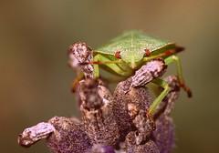 I looked at you (stempel*) Tags: gambezia pentax k30 50mm poland polska owad insect macro makro lawenda lavandula dof 7dwf mondays beatlesbeetles