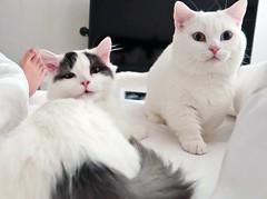 Doggy cats wake me up #goboogi #chobee #munchkin #cat # # # # # # # # # # # # (Goboogi.Munchkin) Tags:     goboogi  munchkin  chobee  cat