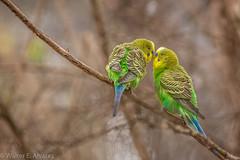 Give me a kiss (catalwa2) Tags: melbourne nature australia healesvillesunctuary birds parakeet budgerigar canon6d tamron canon100400mii