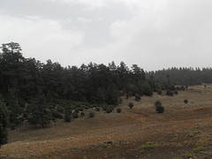 Ceder Forest (The Advocacy Project) Tags: forest morocco rugs carpets ceder azrou amazigh ainleuh middleatlas advocacyproject ahidous womenweavers peacefellow cooperativedestisseusesdainleuh festivalnationaldahidous
