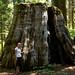 Muitas sequoias foram cortadas antigamente